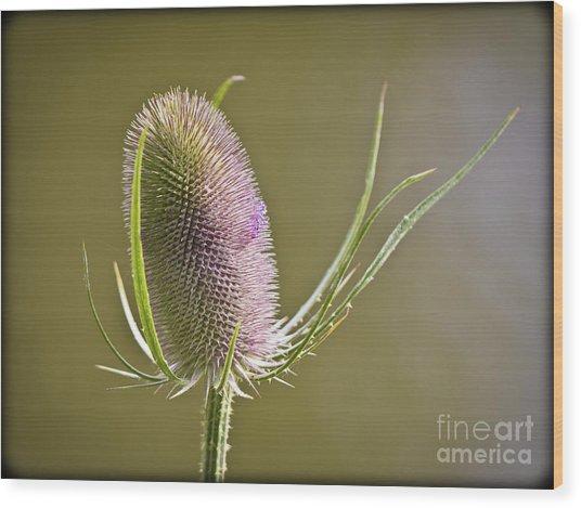Flowering Teasel. Wood Print