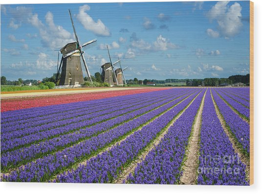 Landscape In Spring With Flowers And Windmills In Holland Wood Print