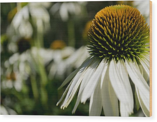 Flowers - Echinacea White Swan Wood Print