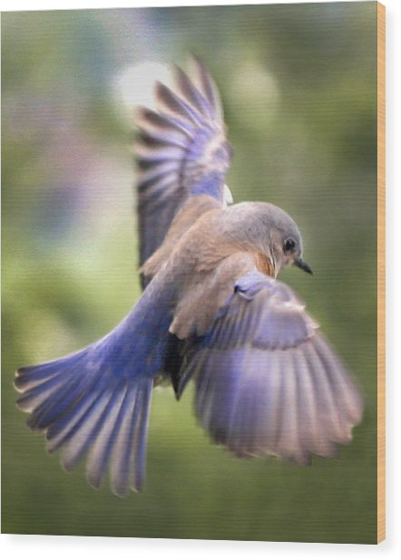 Flying Bluebird Wood Print