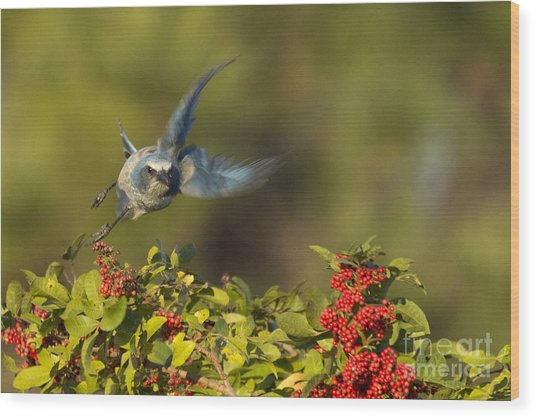 Flying Florida Scrub Jay Photo Wood Print