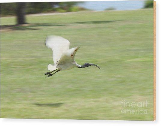 Flying Ibis Wood Print