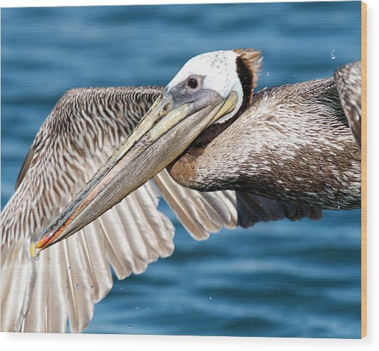 Flying Pelican Wood Print
