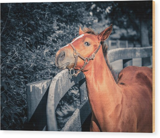 Foal By The Fence Wood Print