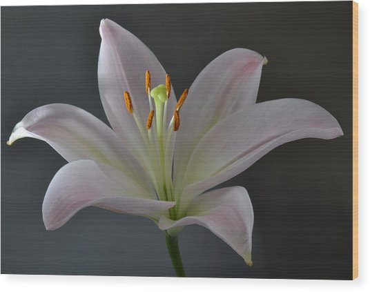 Focus On Lily. Wood Print
