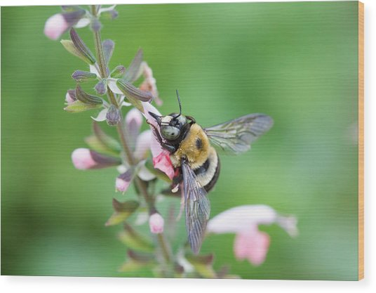 Foraging For Nectar Wood Print