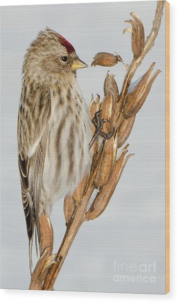 Foraging Redpoll Wood Print