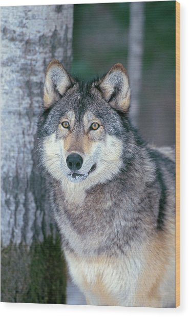 Forest Wolf Wood Print