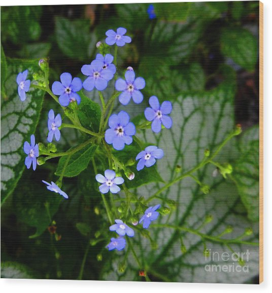 Forget-me-not Wood Print by Marcia Nichols