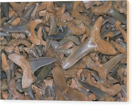 Fossil Shark Teeth Wood Print by Sinclair Stammers/science Photo Library