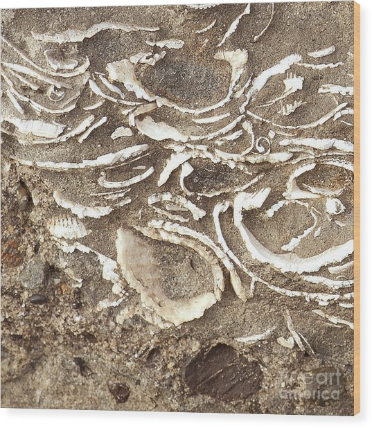 Fossils Layered In Sand And Rock Wood Print by Artist and Photographer Laura Wrede