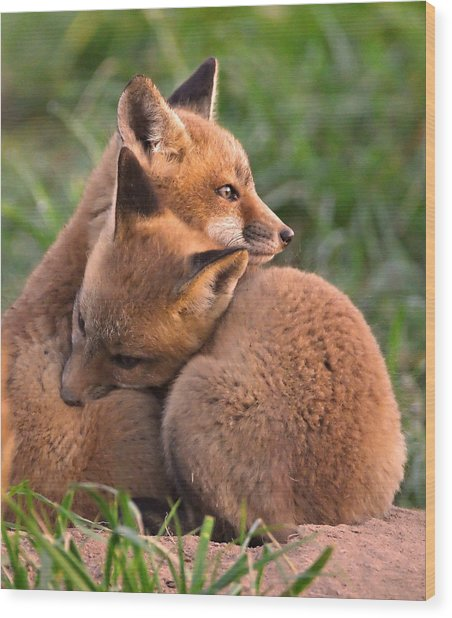 Fox Cubs Cuddle Wood Print
