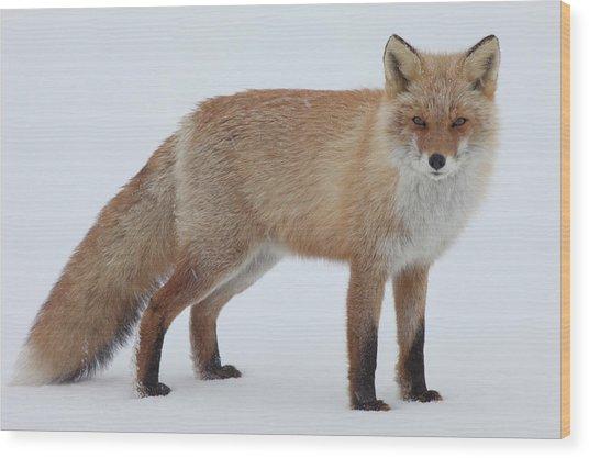 Fox In Snow Field Wood Print by Ichiro