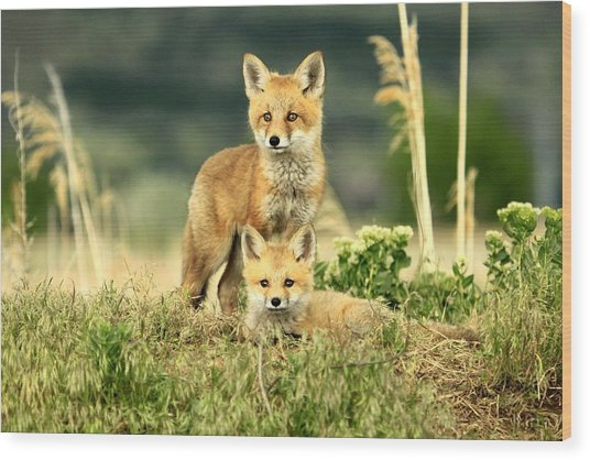 Fox Kits II Wood Print
