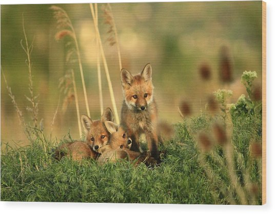 Fox Kits Iv Wood Print