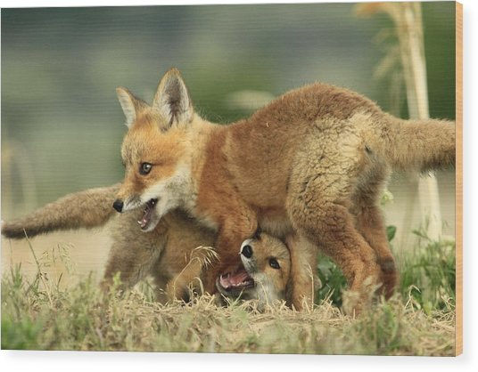 Fox Kits Wood Print