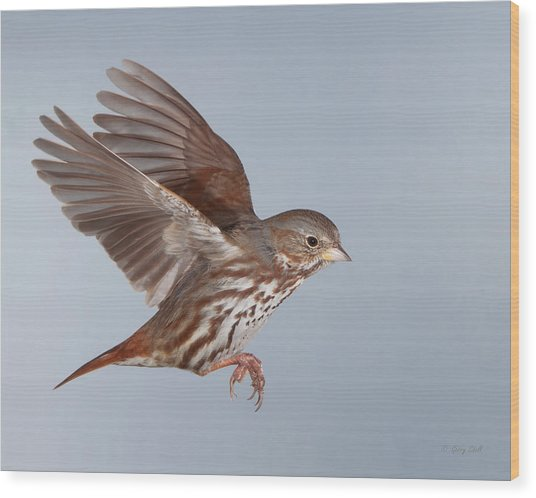Foxy The Sparrow Wood Print by Gerry Sibell
