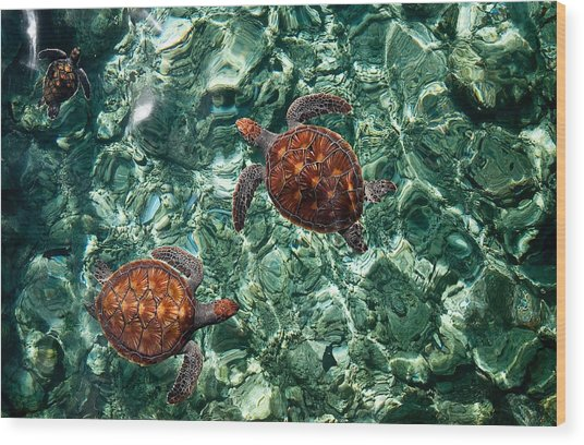 Fragile Underwater World. Sea Turtles In A Crystal Water. Maldives Wood Print