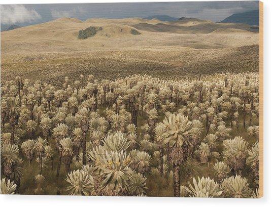 Frailejones', Espeletia Pycnophylla Wood Print by Pete Oxford