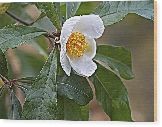 Franklinia Blossom  Wood Print
