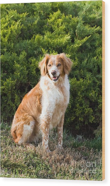 French Brittany Spaniel Wood Print