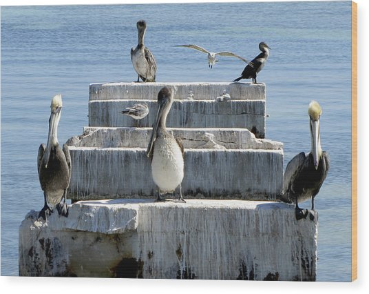 Pelican Friends Wood Print