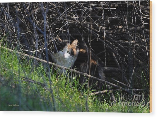 Frightened Feral Calico  Wood Print