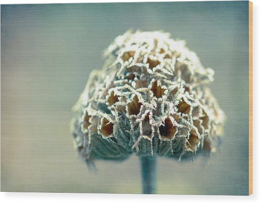 Frosted Seed Head Wood Print by Julie Hill