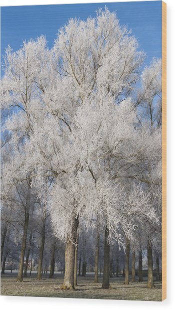 Frosty Trees Wood Print