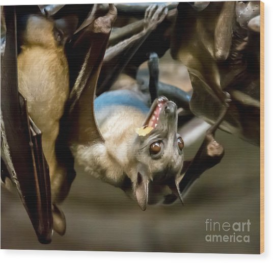 Fruit Bat Fedding Time Wood Print