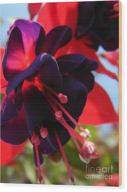 Fuchsia In Full Bloom Wood Print
