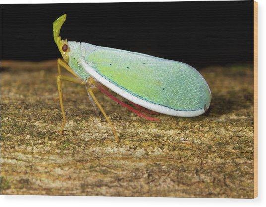 Fulgorid Bug Wood Print by Dr Morley Read