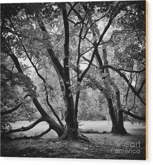 Full Moon Maple Trees  Wood Print