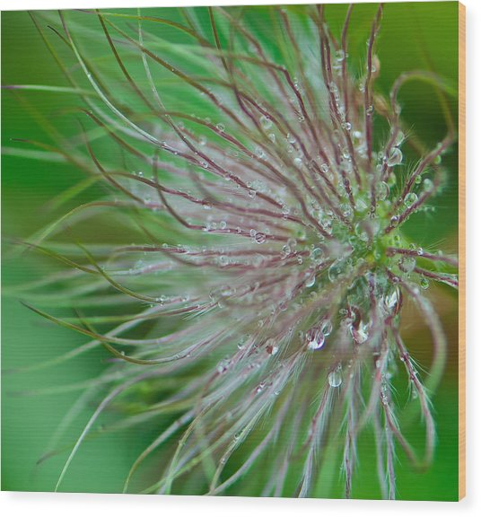 Fuzzy Flower Wood Print by Sarah Crites