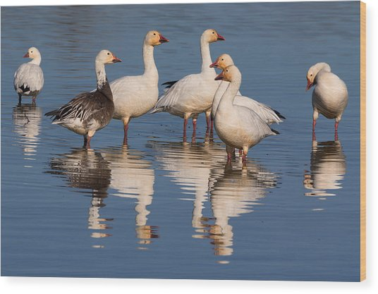 Gaggle Of Snow Geese Reflected Wood Print
