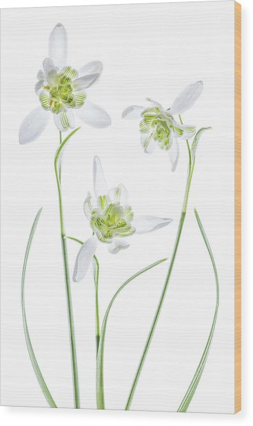 Galanthus Flore Pleno Wood Print by Mandy Disher