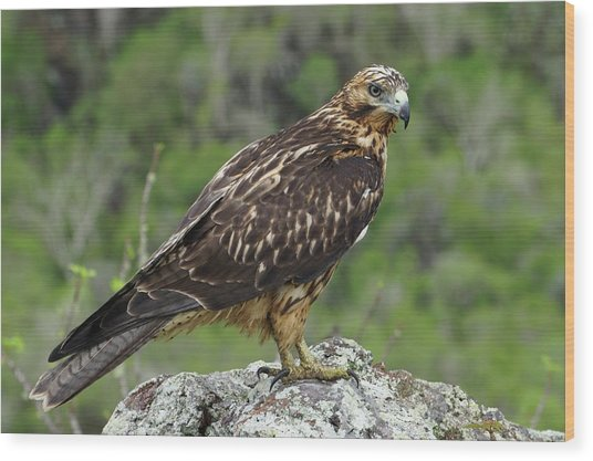 Galapagos Hawk Buteo Galapagoensis Wood Print by Photostock-israel/science Photo Library
