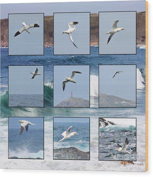 Gannets Galore Wood Print