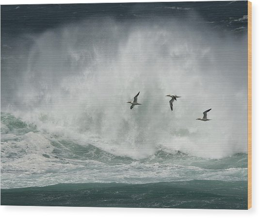 Gannets Past A Raging Sea. Wood Print