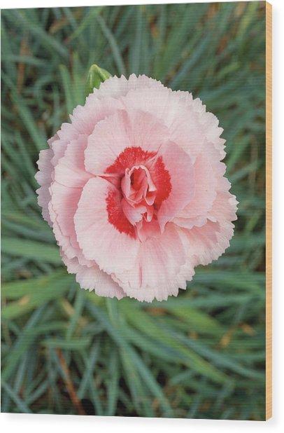 Garden Pinks (dianthus 'doris') Wood Print