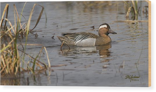 Garganey In Wisconsin Wood Print