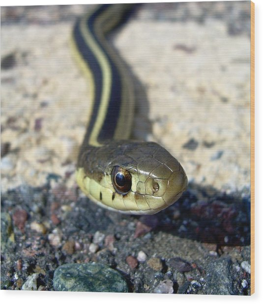 Garter Snake Wood Print