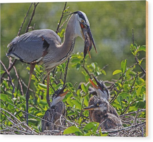Great Blue Heron Lunch Alfresco Wood Print