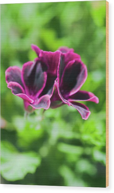 Geraniums (pelargonium Sp.) Wood Print by Gustoimages/science Photo Library
