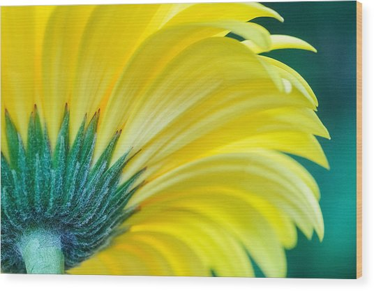 Wood Print featuring the photograph Gerber Daisy by Garvin Hunter