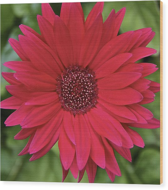 Gerber Daisy In Red Wood Print