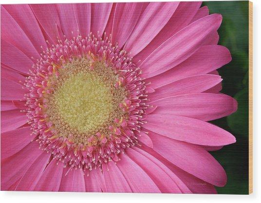 Gerbera Daisy 2 Wood Print