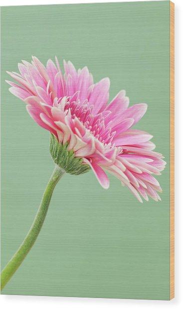 Gerbera Daisy Flower Wood Print by Andrew Dernie