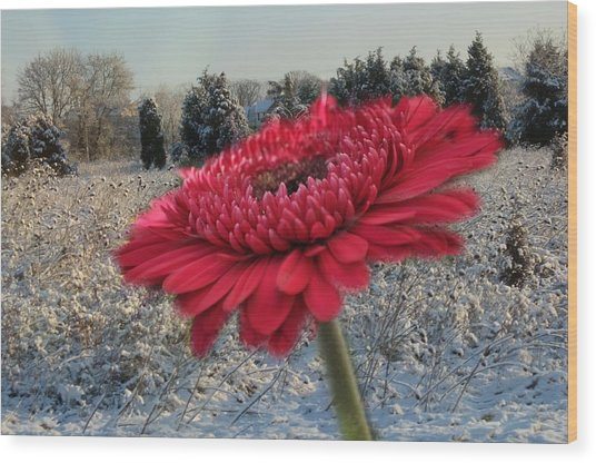 Gerbera Daisy In The Snow Wood Print