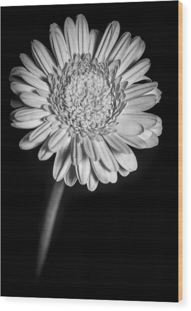 Gerbera In Black And White Wood Print